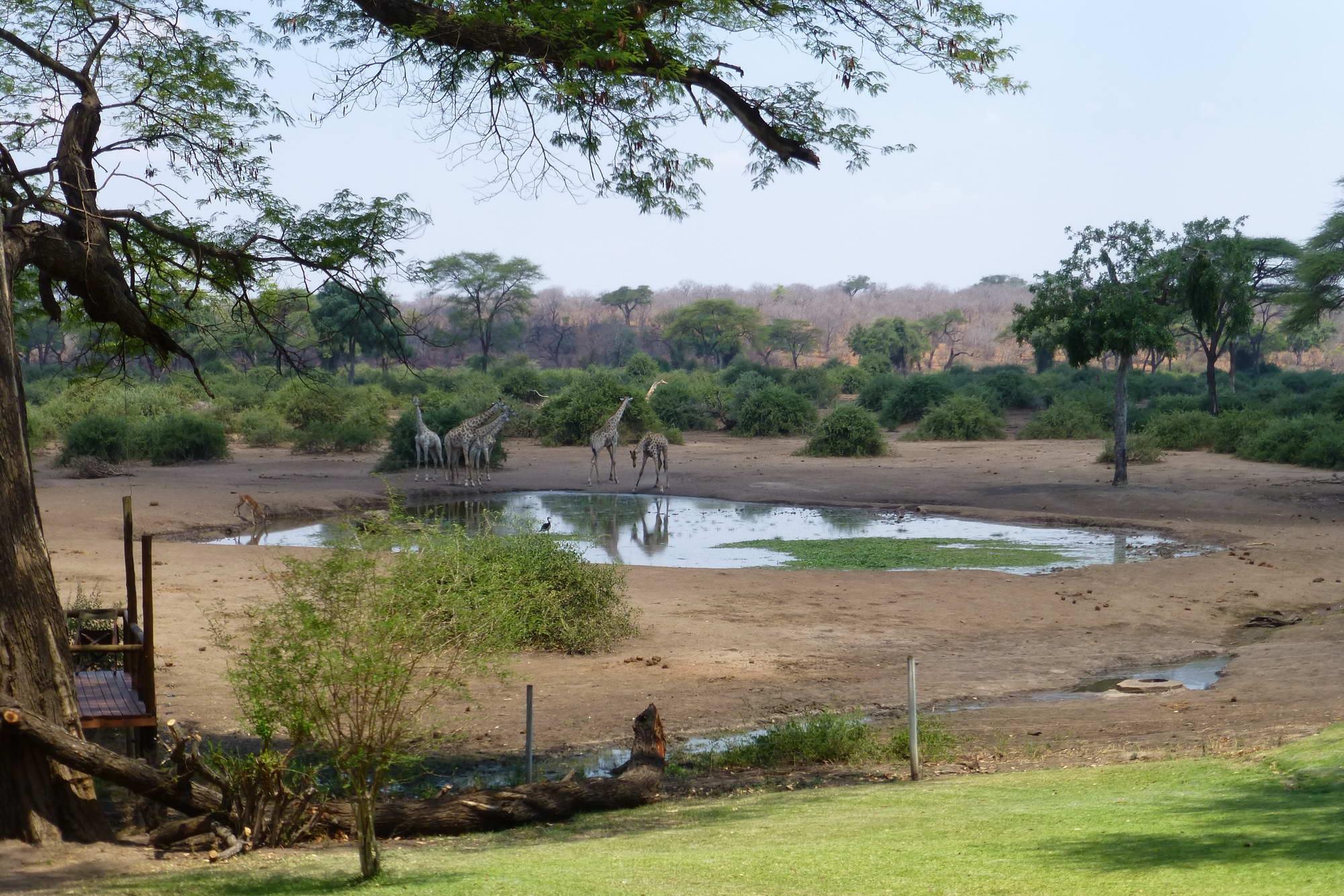 15-EVL-giraffe-waterhole-1