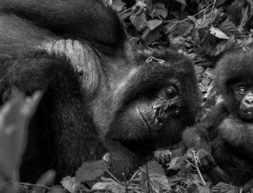 One&Only Gorilla's Nest – Where Gorillas Roam